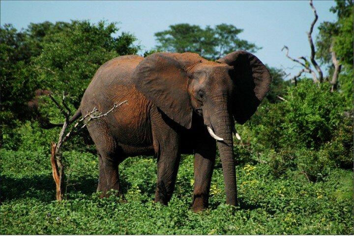 slon_afrykansky