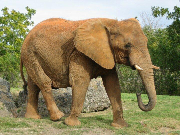 slon_afrykansky_savanny