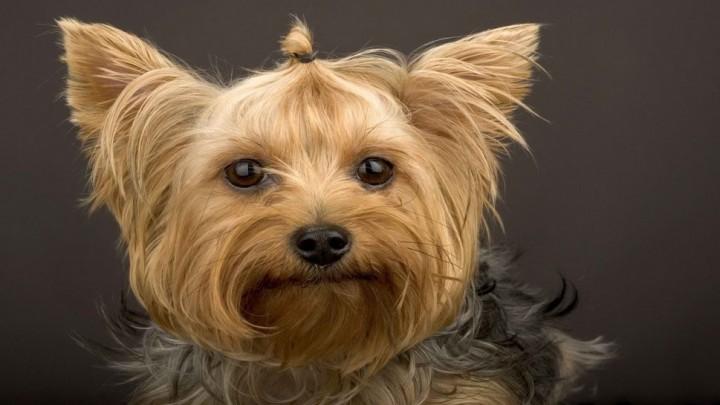 sobaky_yorkshire-terrier